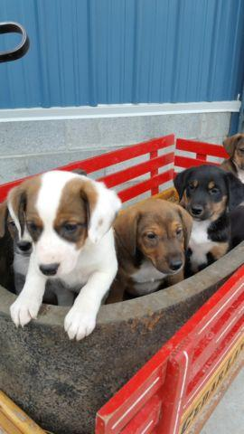 Boxer German Shepherd Mix Puppies For Sale In Southboro