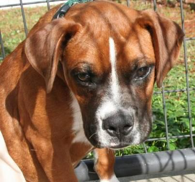 Boxer - Jingle - Medium - Young - Male - Dog