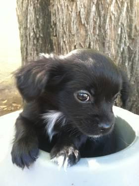 Australian Shepherd Labrador Retriever Mix Puppy