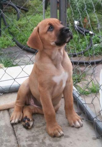 Boxer Mastiff Puppies