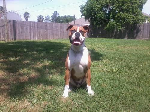 free boxer puppies in houston tx