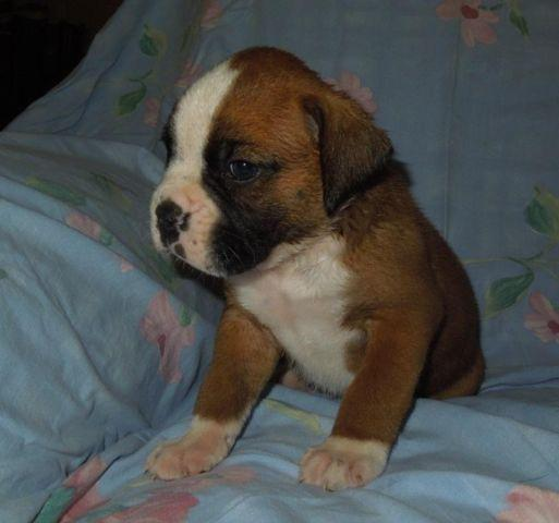 Boxer Puppies For Sale In Dahlonega Georgia Classified