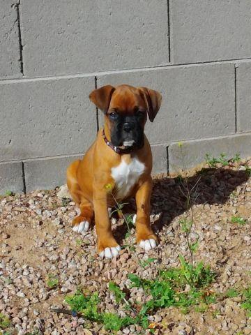 Boxer Puppies For Sale In Scottsdale Arizona Classified
