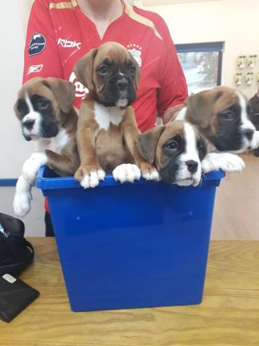 Boxer Puppies Available For Sale