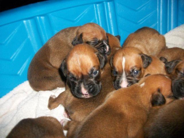 boxer puppies, full blooded,fawns males and females