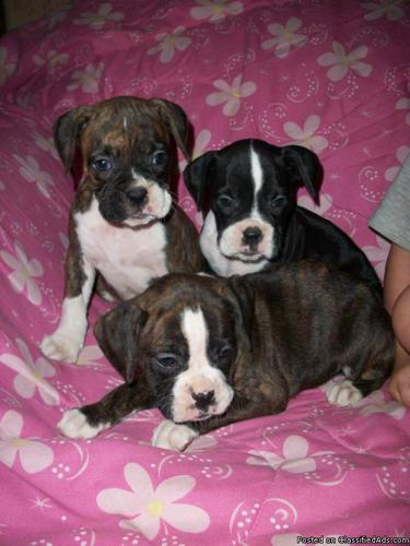 Sealed Brindle Boxer Puppies for Sale