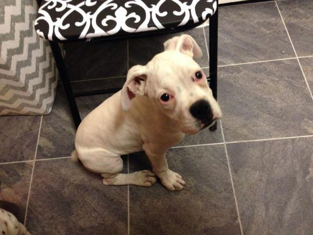 boxer puppy 3 months old for sale in houston texas classified