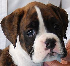 Boxer Puppies San Diego