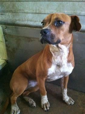 Boxer - Rose Bud - Medium - Adult - Female - Dog
