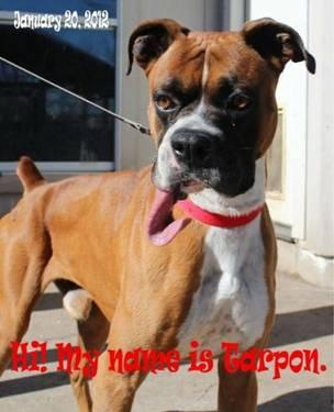Boxer Dogs For Sale Austin Tx