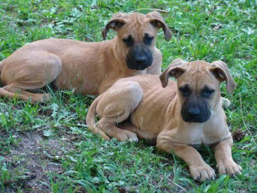 Catahoula Black Mouth Cur Mix | Dog Breeds Picture