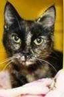 Brandy Domestic Shorthair Adult Female