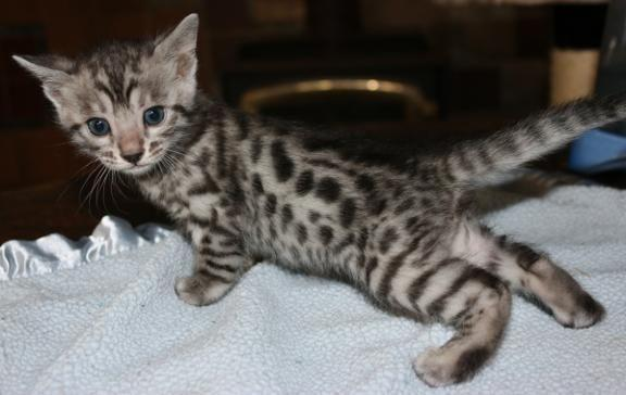 Breeder/show quality silver spotted bengal kitten for Sale