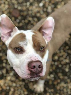Brian American Pit Bull Terrier Adult Male
