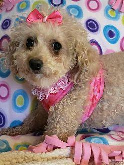 Briana Toy Poodle Adult Female