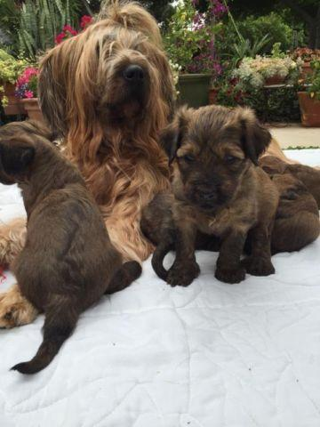 Boxer Puppies For Sale In Chula Vista California Classifieds Buy