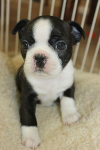 beautiful black brindle and white boston terrier puppies brindle boston terriers puppy for sale in olivehurst 1685
