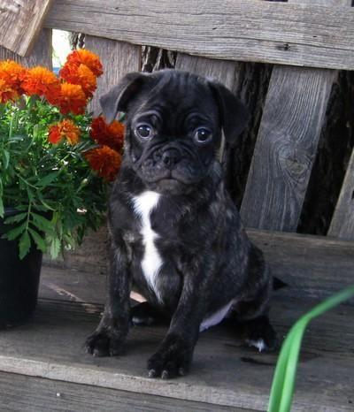 pug breeders mn brindle bug puppies boston terrier x pug cute cute for 3874