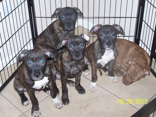 Pitbull Puppies Tri Colored For Sale In Florida Classifieds Buy