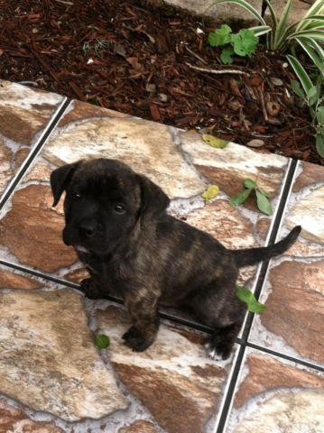 Brindle Pitbulls For Sale In Florida Classifieds Buy And Sell In