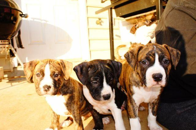 Brindle Pitbull Terrier puppies for sale