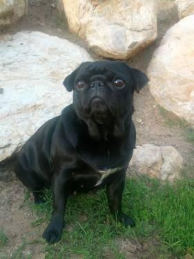 Brindle Pug Puppies - Ogden, UT