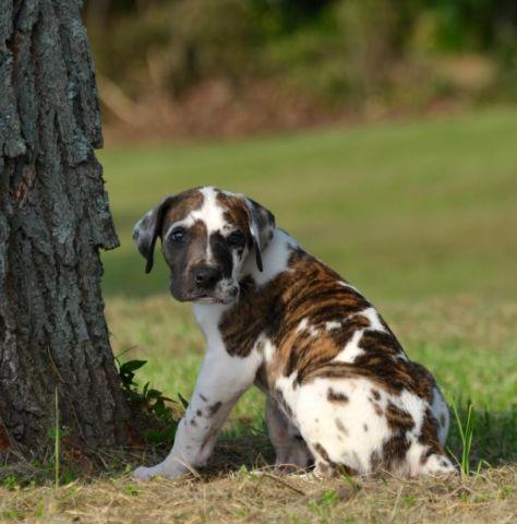 Brindlequin Male Great Dane Puppy For