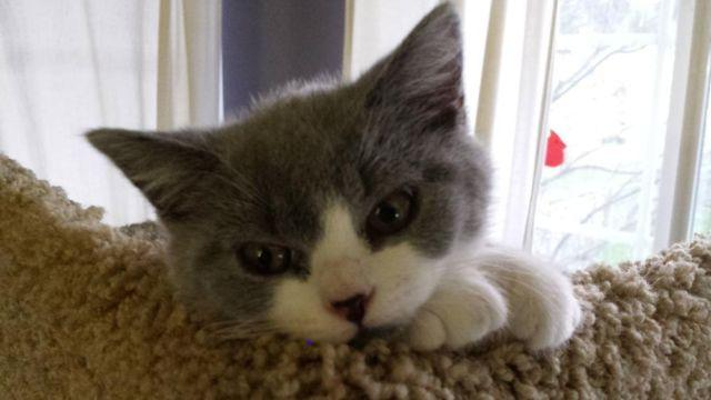 British Shorthair for Sale in Sultan, Washington Classified