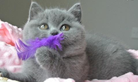 British Shorthair Gccf Kittens