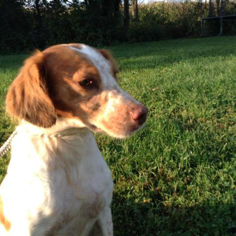 Brittany Spaniel - 5 year old - Experienced handler -