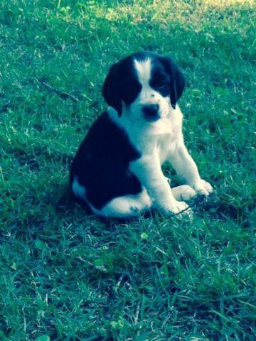 Brittany Spaniel/English Springer Pups