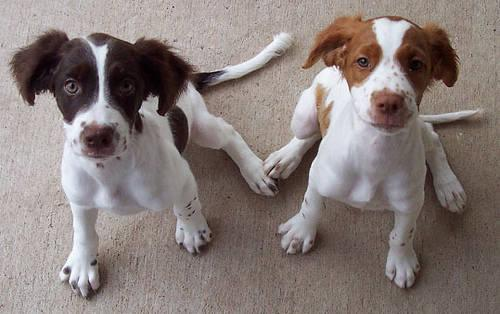 Brittany Spaniels Florida Wanted Brittany Spaniel or