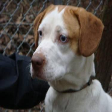 adult-brittany-spaniel-for-sale