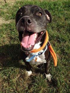 Brock American Pit Bull Terrier Adult Male