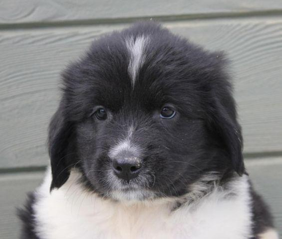 Newfoundland Dogs For Adoption In Ohio