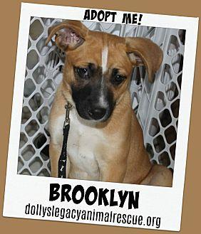 BROOKLYN Black Mouth Cur Puppy Female