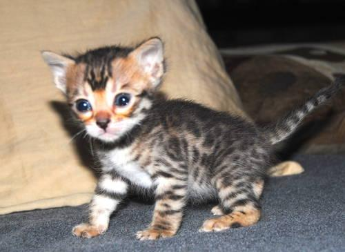 Brown Spotted and Tri Color Marble Bengal Kittens For