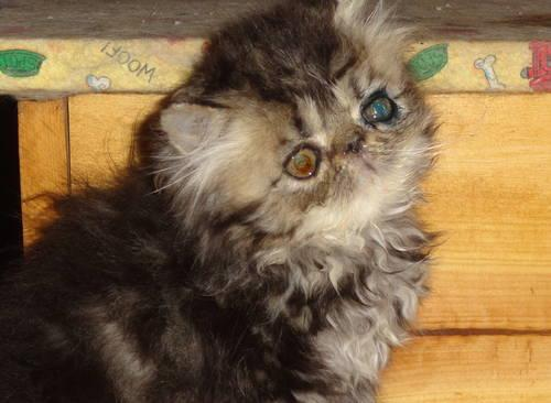 Brown Tabby and White Persian Female Kitten for Sale in Knoxville ...