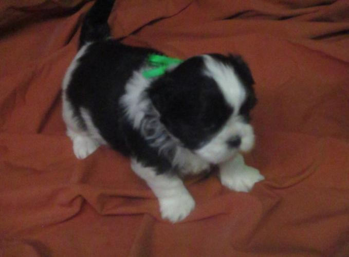 BRUNO, CKC Shih Tzu puppy male, purebreed,to rehome on