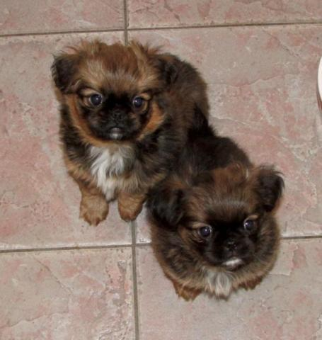 Brussels Griffon Japanese Chin Designer Cross For Sale In