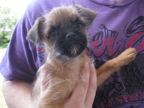 Brussels Griffon/Chihuahua = Chussel Puppies.
