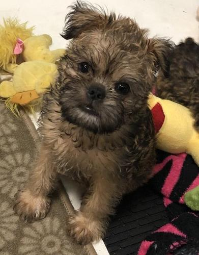 Brussels Griffon Puppy for Sale - Adoption, Rescue