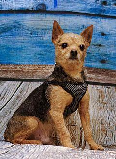 Bubba D3921 Yorkie, Yorkshire Terrier Adult Male