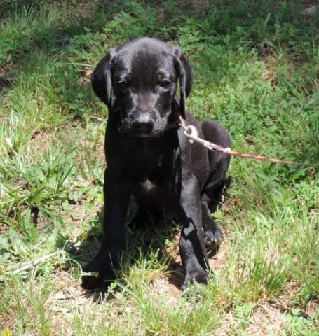 Buckshot Golden Retriever/ German Short Haired Pointer