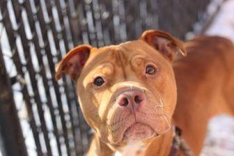 Bucky American Pit Bull Terrier Adult Male