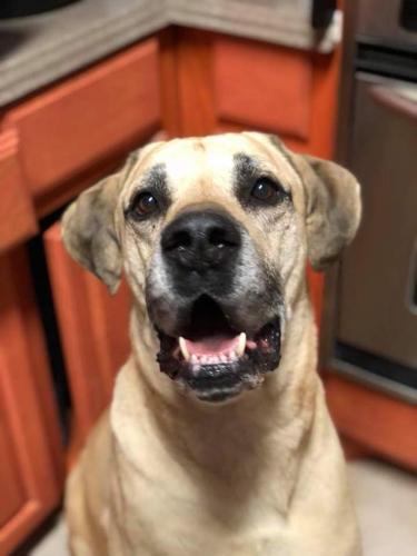 Bucky Mastiff Adult - Adoption, Rescue for Sale in Killeen