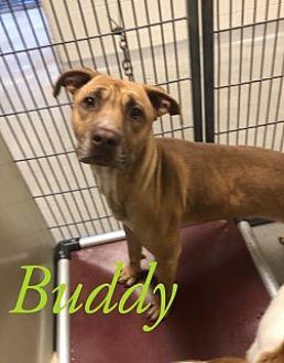 Buddy 116875 Pit Bull Terrier Adult Male