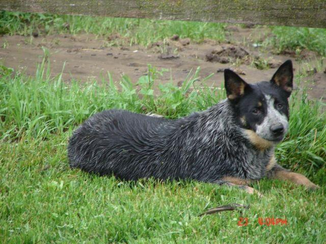 Buddy, young Blue female HEELER or ACD