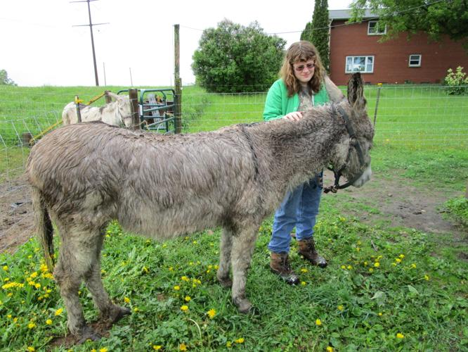 Buff- donkey gelding
