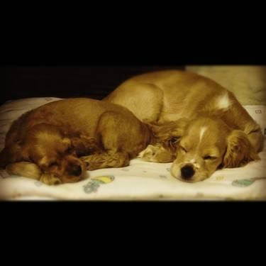 Buff Cocker Spaniel Puppies $350